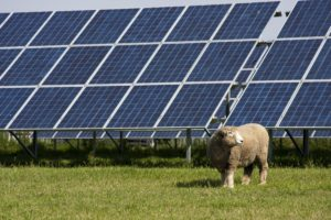 sheep with solar panels